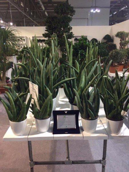 La #Sansevieria o #sanseveria è una #pianta resistente, necessita di poche cure ed è perfetta come #piantaornamentale da #interno. I #consigli dei #giardinieri https://t.co/qZL6r570KK #giardinaggio #giardino #coltivazione https://t.co/99TJUsB3AA
