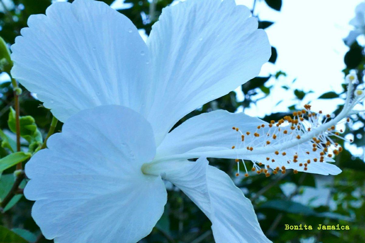 Bonita jamaica on twitter white hibiscus god and nature travel bonita jamaica on twitter white hibiscus god and nature travel jamaica hibiscus flower nature izmirmasajfo