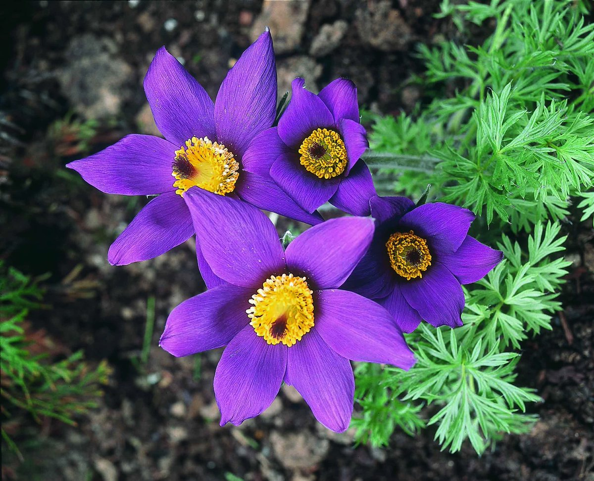 pasqueflower also known as may day flower is state flower of southdakota