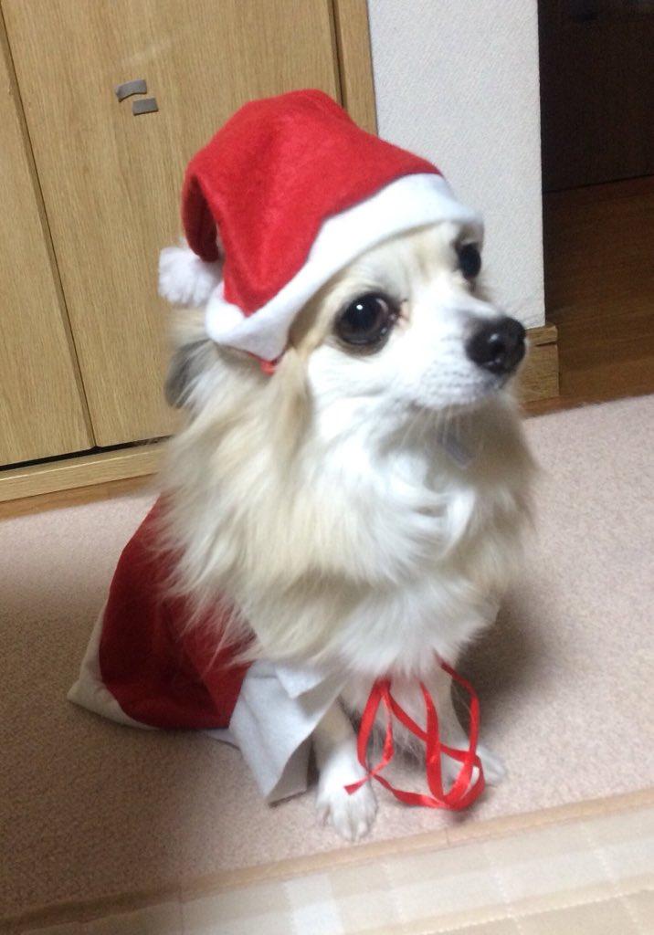 test ツイッターメディア - ラブ??サンタ??です 撮影には ラブも 協力してくれました??? #ドッグサンタ #クリスマス #チワワ #サンタクロース #セリア https://t.co/9d3AvUPnj7