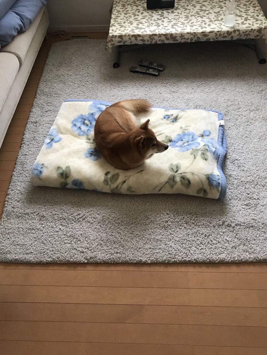 #今日のおは犬 とろとろ毛布の上からどこうとしないので、毛布島にとり残される犬