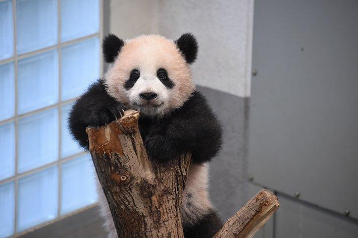 元気いっぱい! シャンシャンの近況を更新しました! ジャイアントパンダ「シャンシャン」近況[10]207日齢に22回目の身体検査→ueno-panda.jp/topics/detail.…