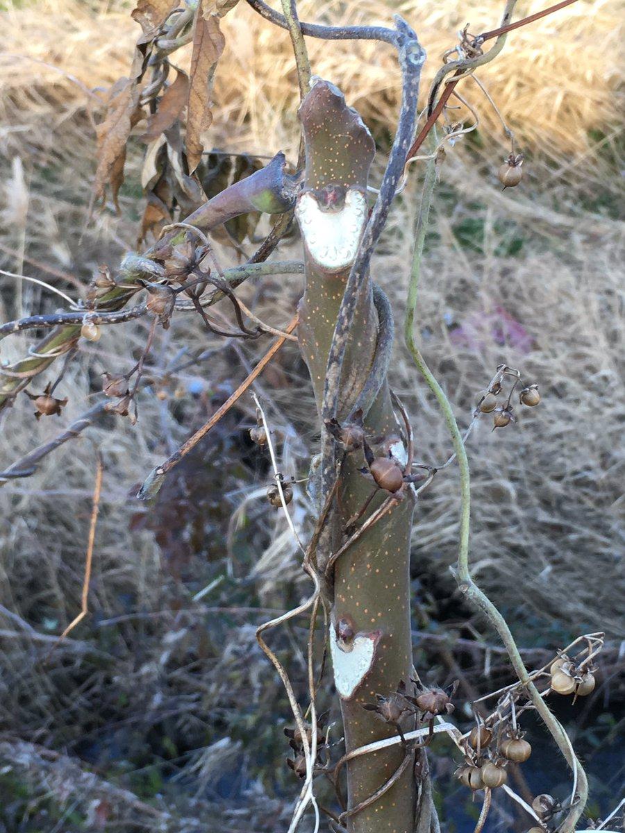 ニワウルシの冬芽はリサとガスパールだね。どっちもリサか(^^)