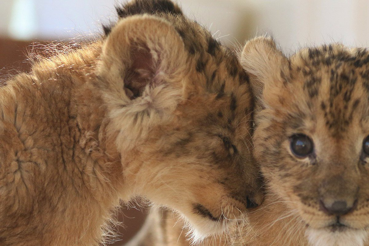 ケンカを止めずにいたら… なぜか突然の「ごめんね」☺️ #ライオン #赤ちゃん #つづく #アフリカンサファリ