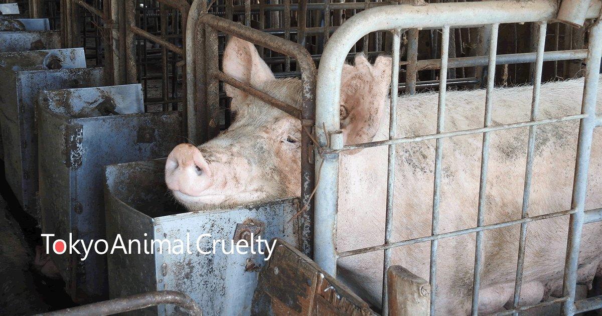 """RT @animalrights_JP: 東京五輪の選手村や会場で提供される豚肉に、世界中が廃止していっている飼育方法""""拘束飼育=妊娠ストール""""を使わないで。https://t.co/MUTMG7PJUz … …#東京五輪 https://t.co/NjjjLaULXp"""