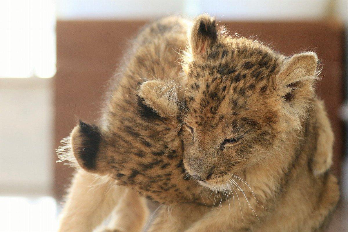 で、最後は「ごめ~~ん」的なグリグリ☺️ 「ぐぅぉみぇ~~ん」ですかね😜 #ライオン #赤ちゃん #アフリカンサファリ