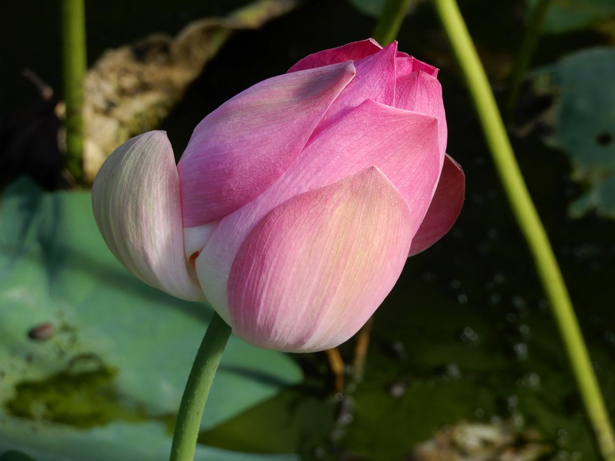 Belize spice farm on twitter pink lotus flower bud beautiful even belize spice farm on twitter pink lotus flower bud beautiful even before opening izmirmasajfo