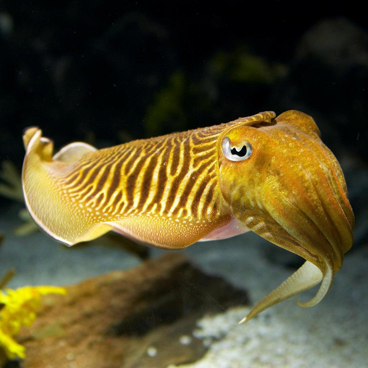 cute cuttle fish - HD1200×1200