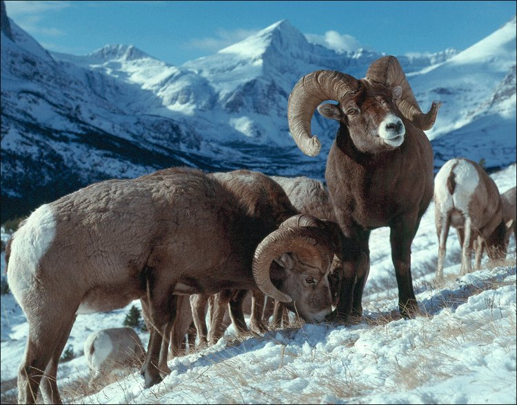 USGS researchers are studying outbreaks of pneumonia in bighorn sheep, which pose a threat to this iconic species' recovery https://www.usgs.gov/centers/norock/science/pneumonia-bighorn-sheep?qt-science_center_objects=0#qt-science_center_objects … #wildlifehealth #wildlifedisease #NOROCK pic.twitter.com/XFPPkvvmxP