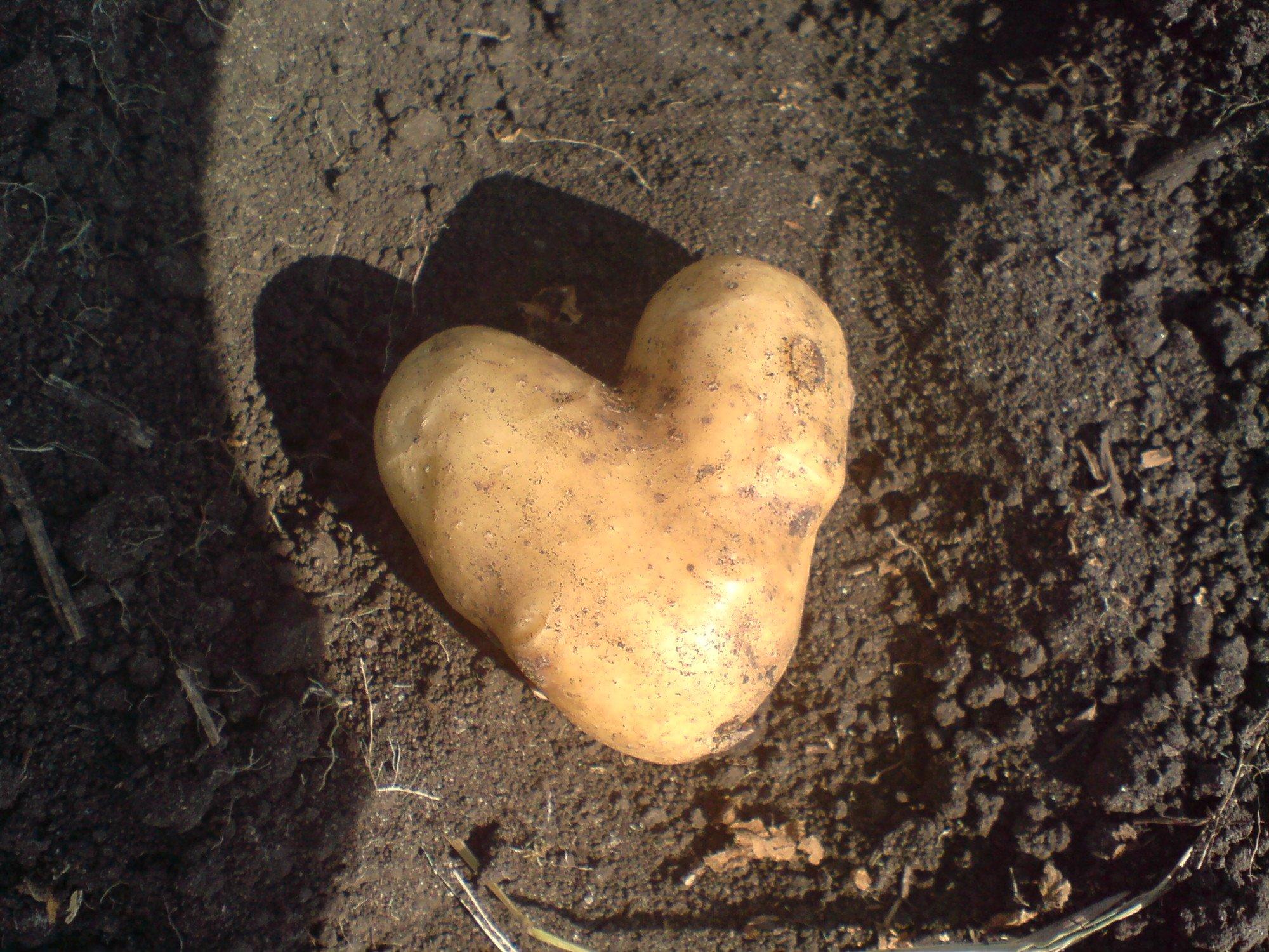 Красной, копать картофель прикольные картинки