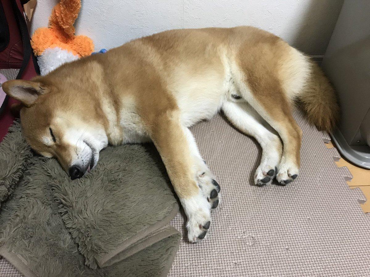 飼い主が忙しいのでお昼寝中 #今日のおは犬