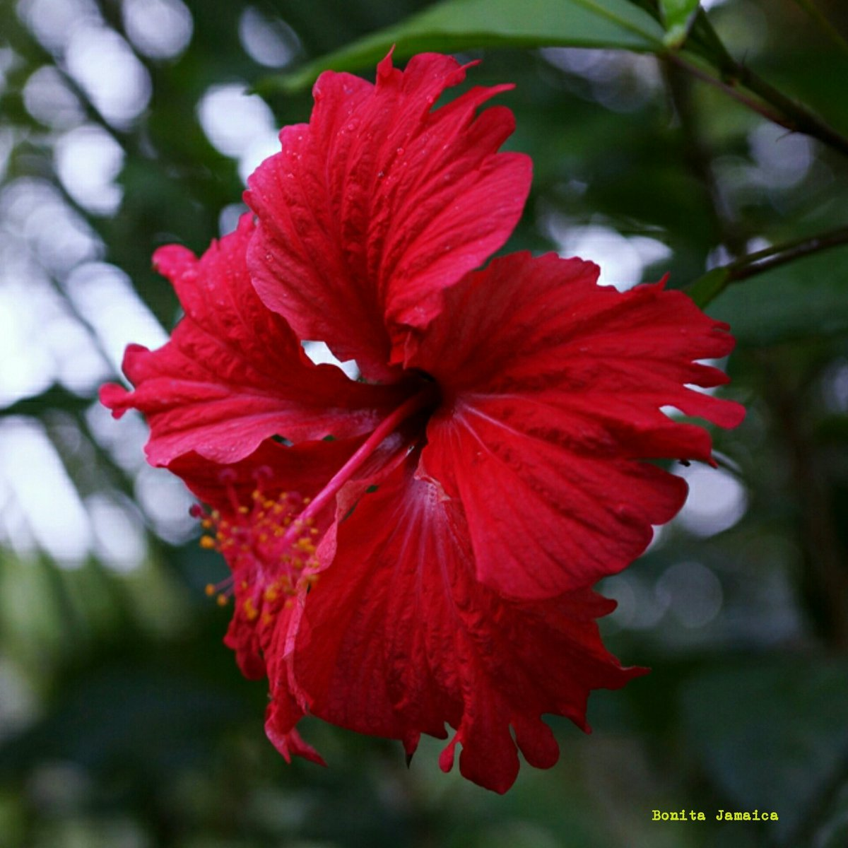 Jamaica diaspora ny on twitter rainforest red hibiscus the the prettiest things have been here we came and saw them travel jamaica nature hibiscus flower red httpst0jtc5gasui izmirmasajfo