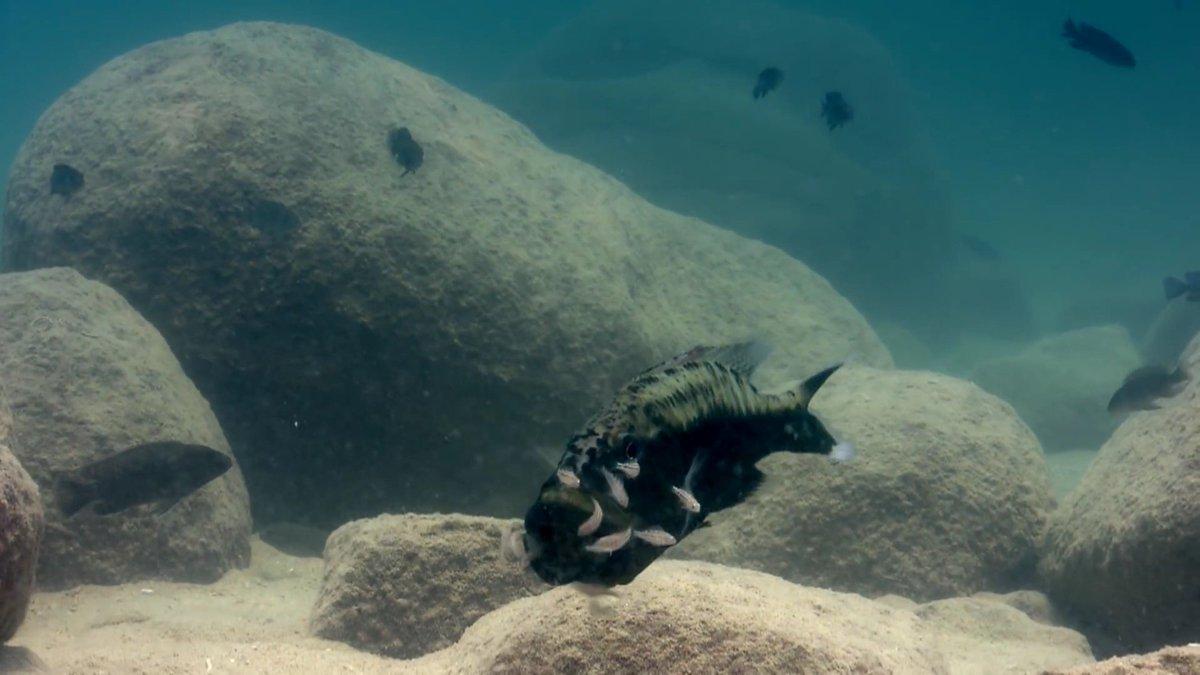 RT @wstract: شاهد كيف تقوم هذه السمكة الأم بحماية صغارها من الإفتراس وذالك بوضعهم داخل فمها عند اقتراب الخطر 🐠 https://t.co/iNaUWaXQKc