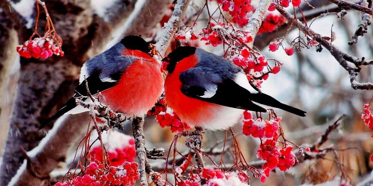 фото зима снегири красные большие красивые брови