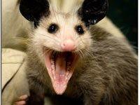 possum dick