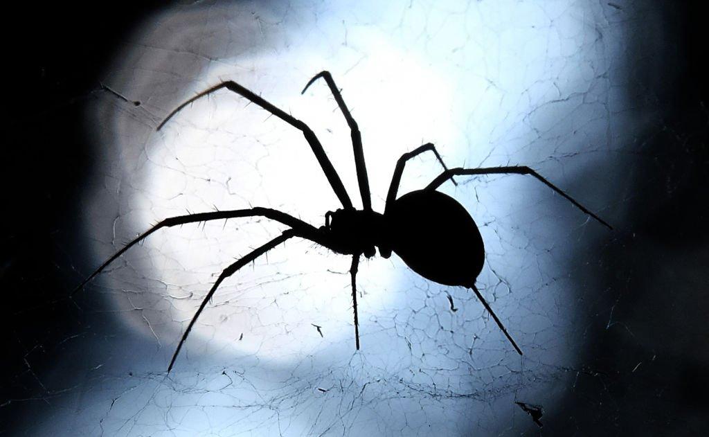 Descubrieron tres nuevas arañas venenosa...