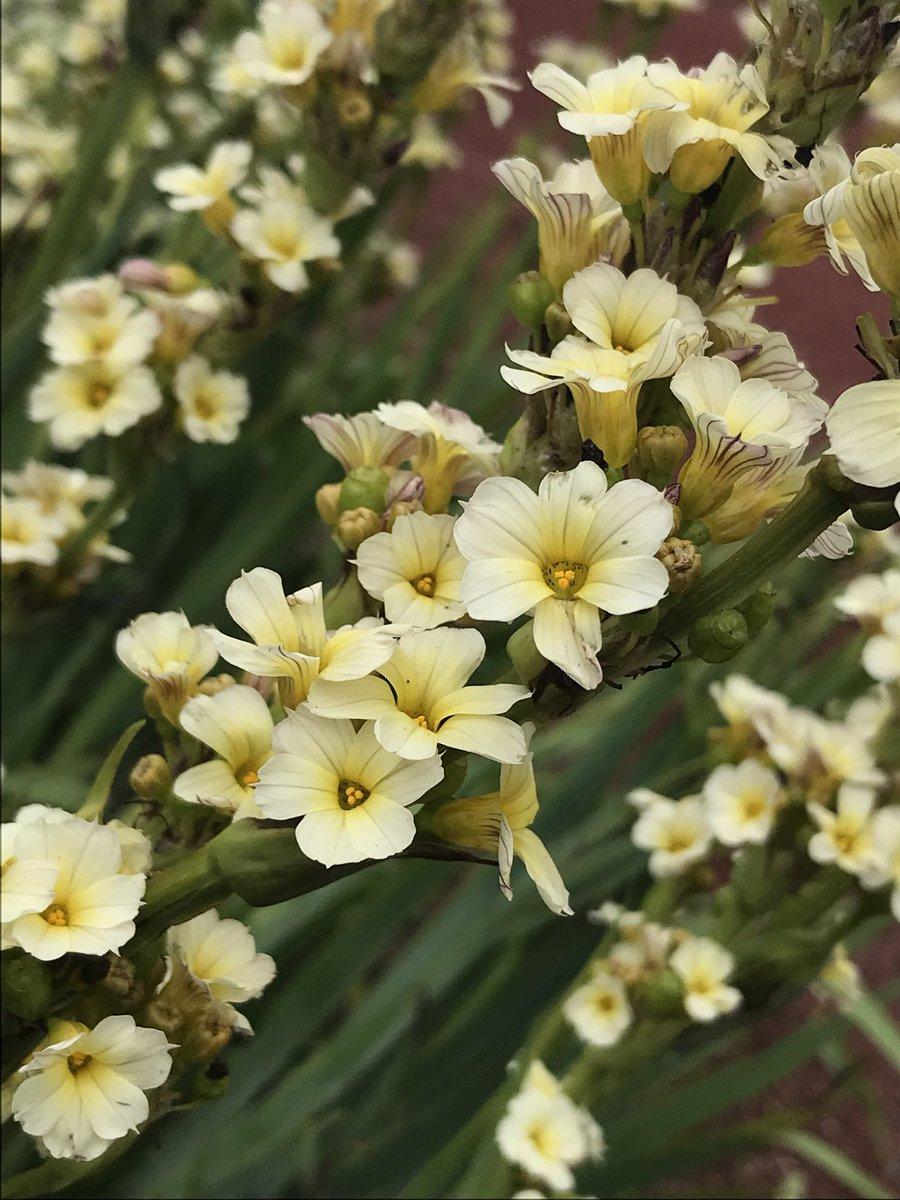 Jimmy Turner On Twitter Sisyrinchium Striatum Common Names Pale