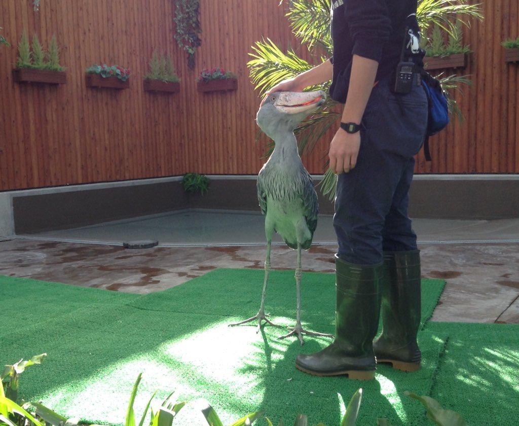 私の知ってるハシビロコウと違う... #掛川花鳥園