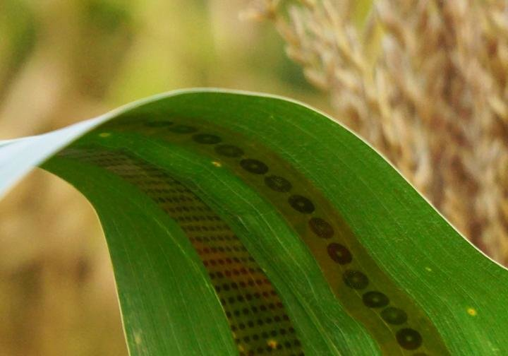 Engineers make wearable sensors for plants, enabling measurements of water use in crops https://t.co/1oJjt64Of2 https://t.co/0WidsxlKPi