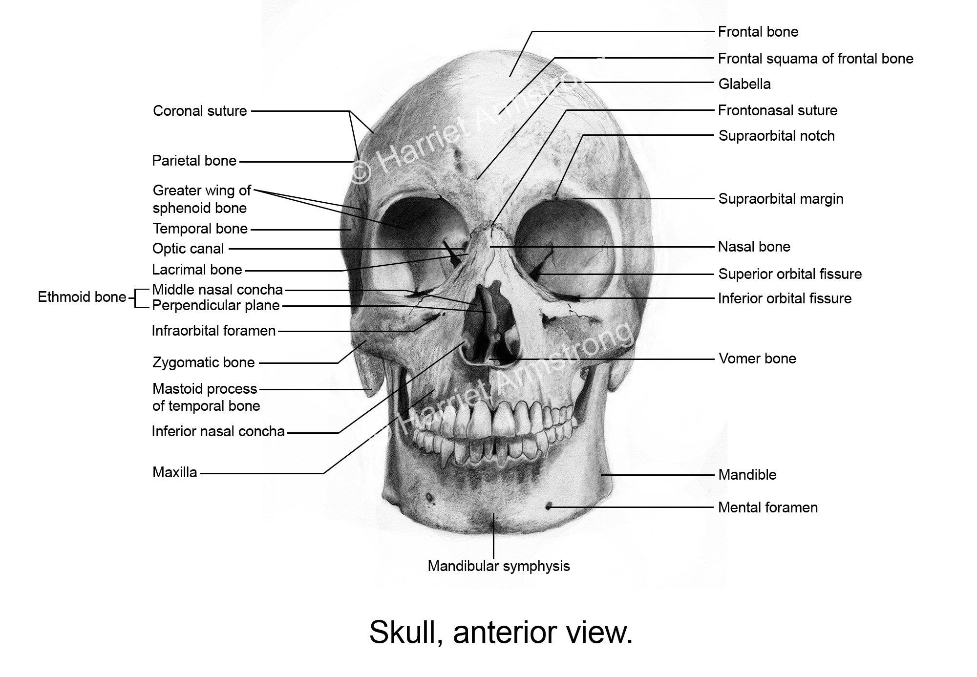 Famous Lacrimal Bone Photo - Anatomy and Physiology Tissue ...