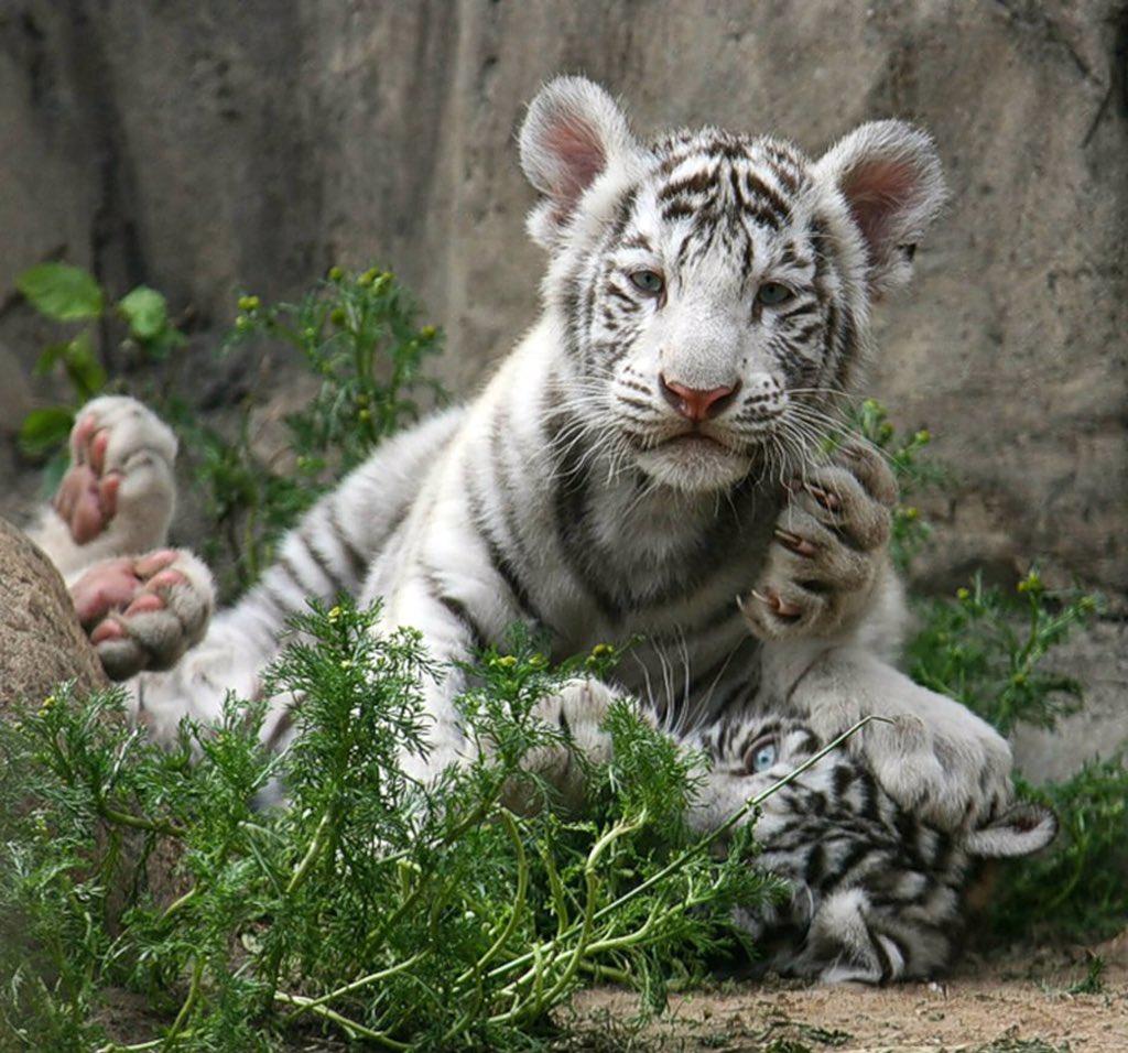 камри картинки тигрята белые милые день выкладываем