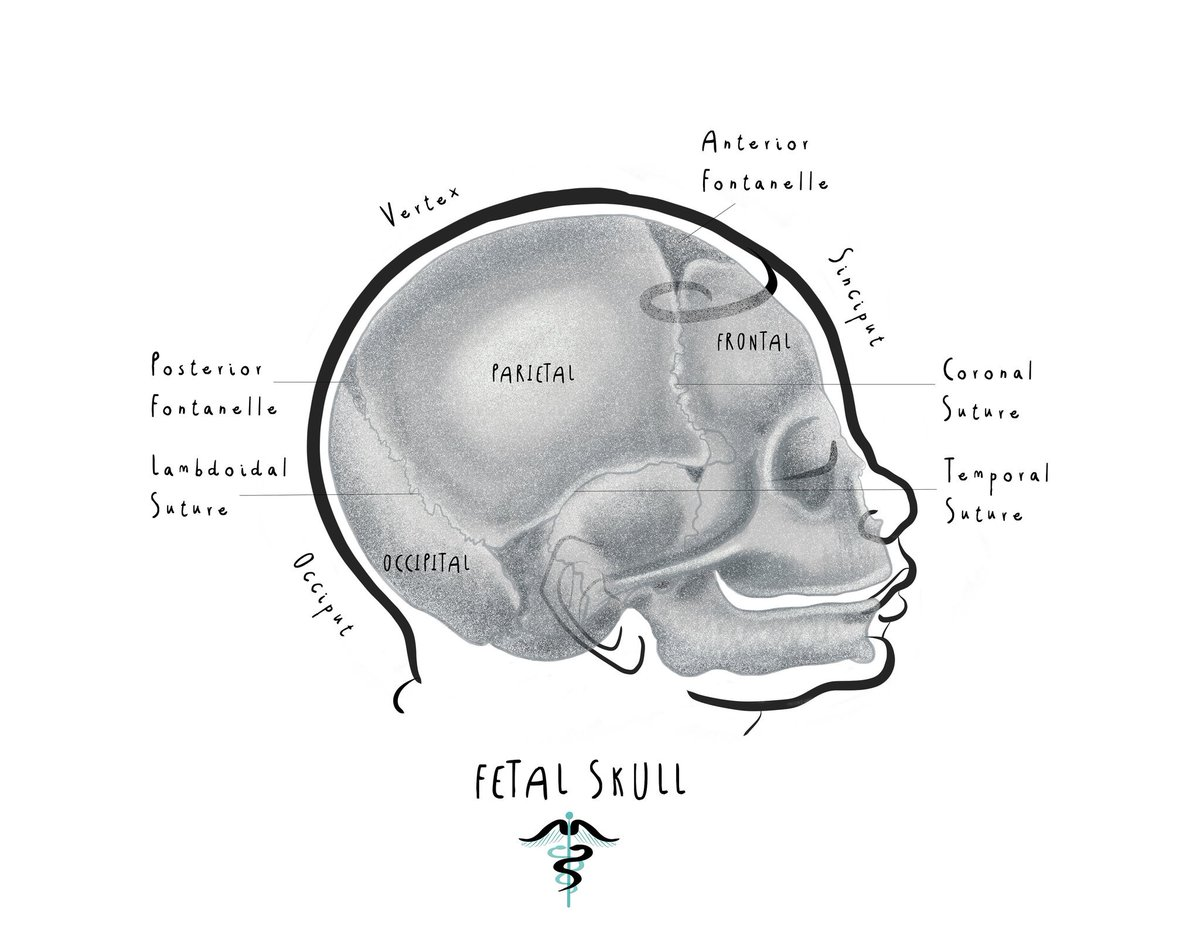 Merlin On Twitter Todays Medical Illustration Fetal Skull