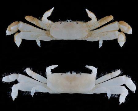 5000RT:【かわいい】「ぺったんこ」なカニの新種、小笠原で発見 https://t.co/rSgqvp2Cnf  「ペタンココユビピンノ」と命名。共生するゴカイの巣穴にぴったりと収まり、横移動しながら生活しているとみられている。