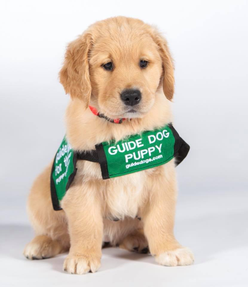 Volunteers raise puppies for guide dogs of america: meet mary, a.