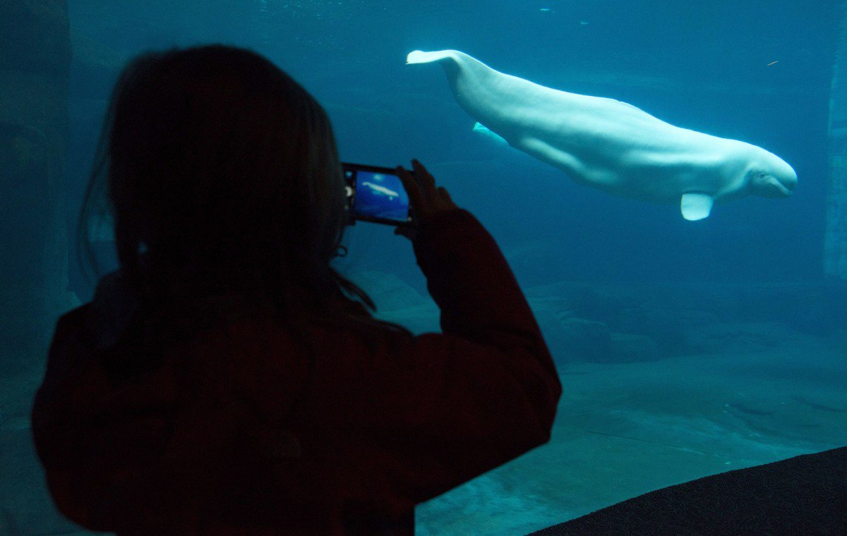 the complex issue of whales in captivity Captivity has been proven harmful to the orca due to the capacity of its brain to exhibit complex communicative and matriarchal social structure, abnormal aggressive behavior in captivity, and negative emotional expressions resulting in physiological consequences calling for the need to explore alternative solutions to captivity.