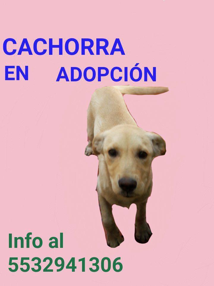 @MascotasSismo Cachorra labrador en adop...