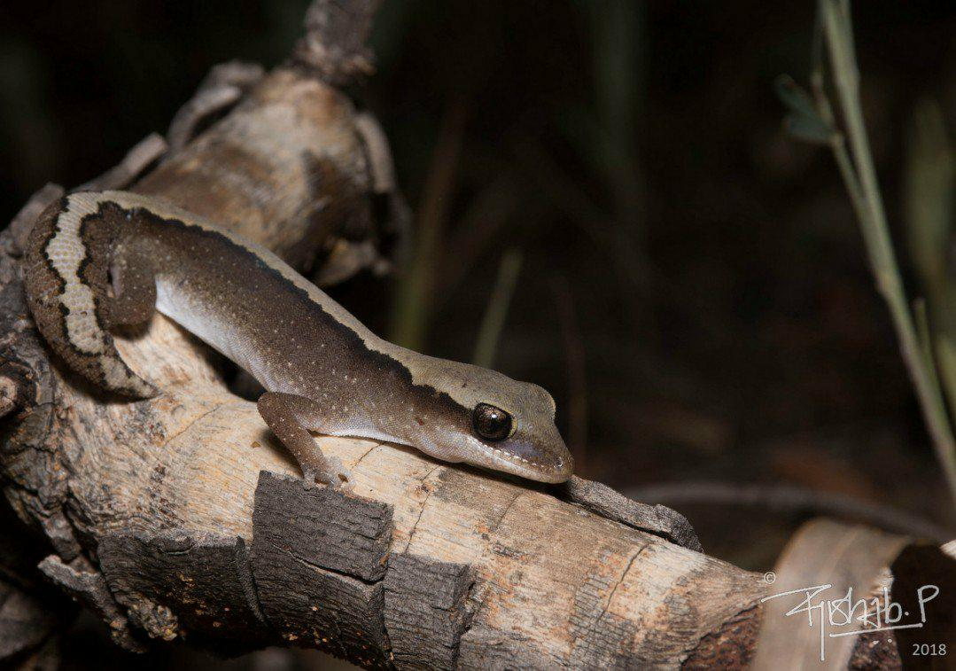 Stunning little #EasternStoneGecko #Diplodactylusvittatus we encountered during field surveys for a #microbiome study with @donaldmcknight2 #lizards #reptiles #wildoz<br>http://pic.twitter.com/BA3CgSD8AB
