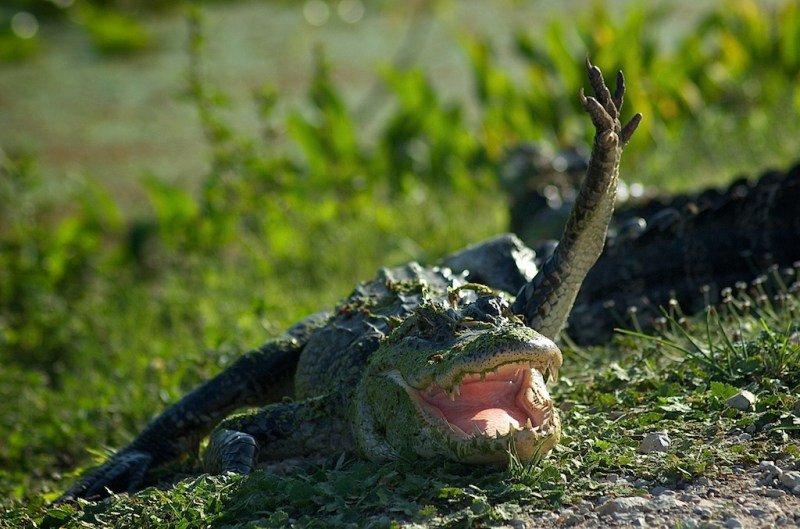 Прикольная картинка крокодил, днем рождения