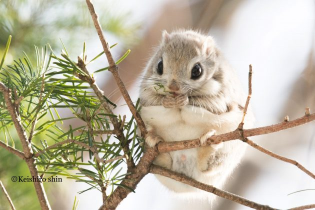 Big #SquirrelAppreciationDay plans this weekend? We got you covered.   This Japanese flying squirrel (Pteromys momonga) is a cutie, but doesn't actually fly: http://s.si.edu/2rl8fO9