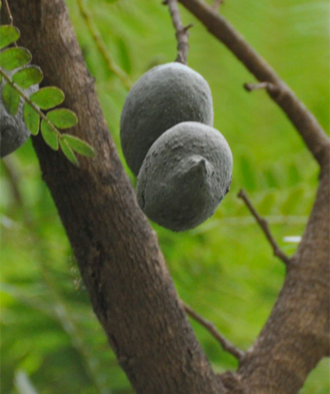 O Xrhsths عجائب النبات Sto Twitter اكيد تعرفون هذه الشجره لها ثمار منتشره في كل مكان ماهي فوائد ثمار هذه الشجره