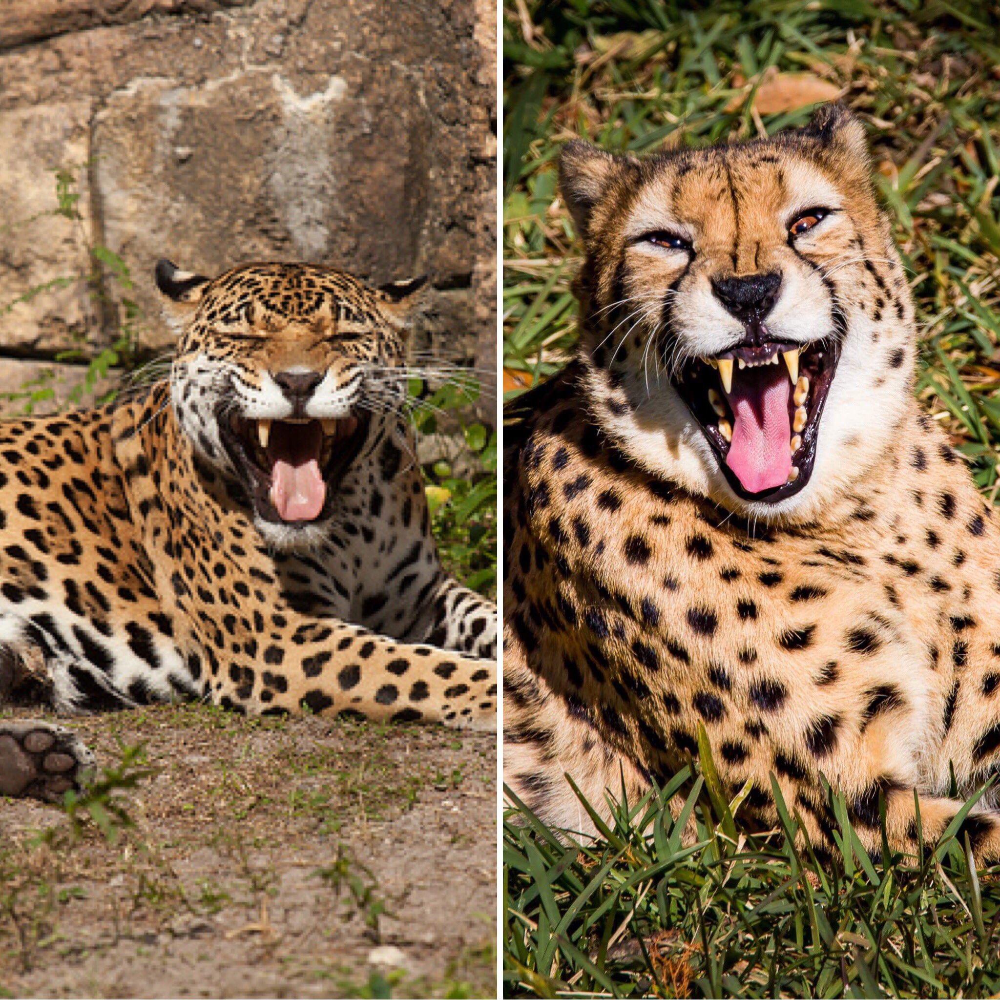гепард и леопард разница фото сохранении архитектурного облика