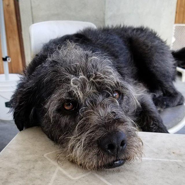 A long week will have you looking like Scout! . . #scoutdog #scoutthedog #scruffiness #scruffydog #browneyeddog #blackdog #doggydaycare #mountainview #bayareadog #californiadog #southbay #petsitters #petsittingtothemax #daycarelife #siliconvalleydog #scr… http://bit.ly/2DnQRxIpic.twitter.com/JKwTgm354f