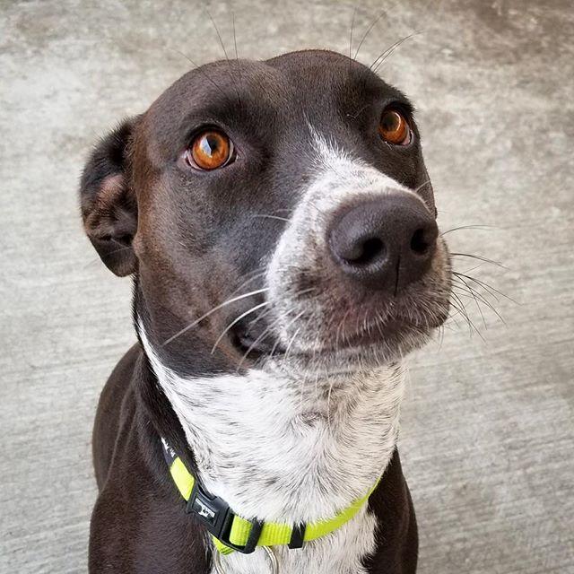 "Picture in the dictionary under ""Good Boy."" . . #goodboy #browneyeddog #doggydaycare #mountainview #bayareadog #californiadog #southbay #petsitters #petsittingtothemax #daycarelife #siliconvalleydog #happydog #goodsit #sitdog #dogsmile #smilingdog #choco… http://bit.ly/2Bfi9Rapic.twitter.com/5ZJxhzxZAd"