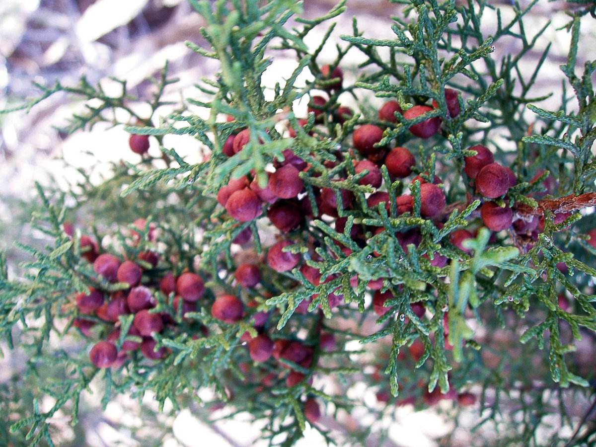 Tscra on twitter what scraggly evergreen shrub has red berries central and west texas click the link to find out httpowltp1t30he8qw every month theres a plant id column in the cattleman magazine sciox Choice Image