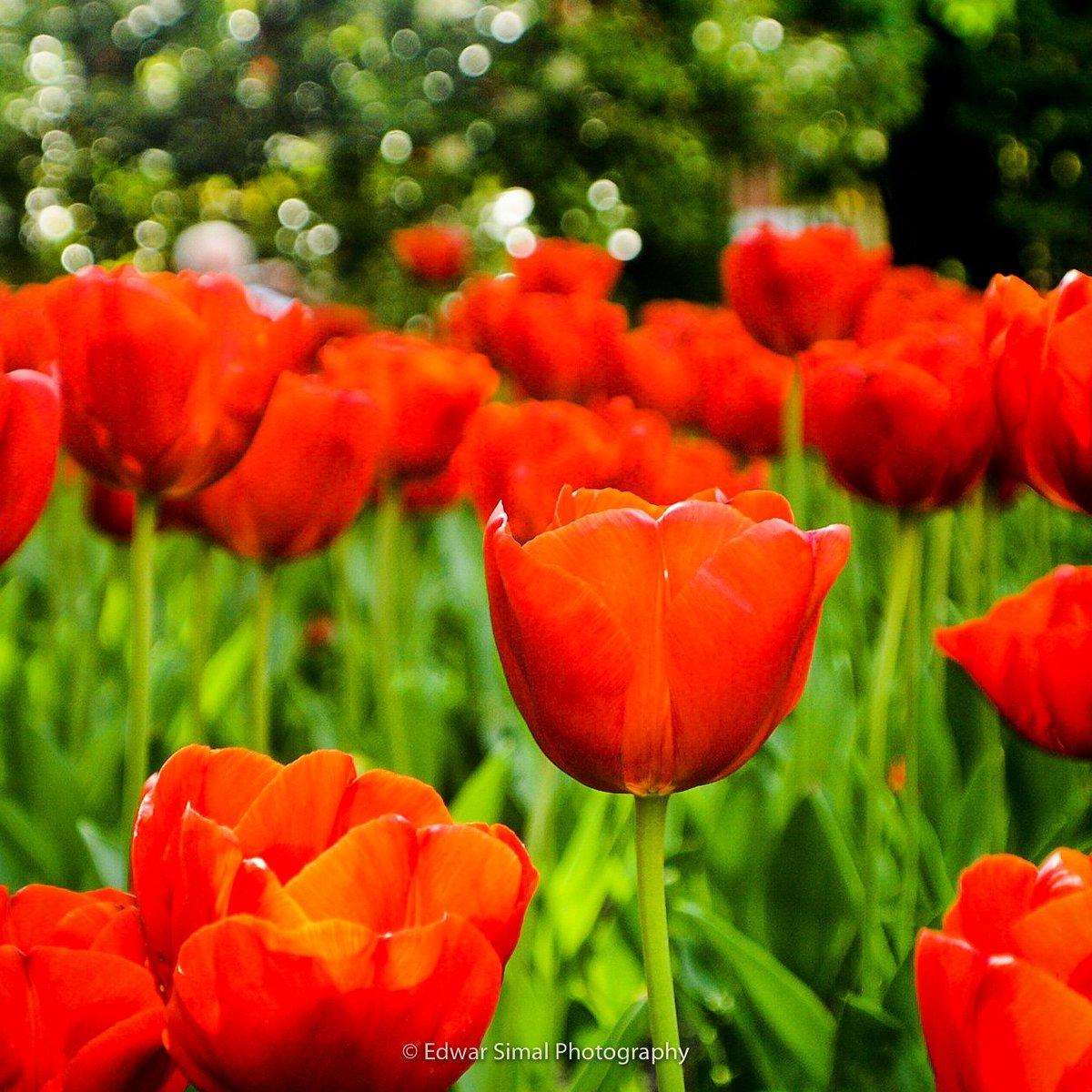 Edwar simal on twitter colors of nature flowers in madrid edwar simal on twitter colors of nature flowers in madrid madrid spain europe flower tulips photooftheday picoftheday photo photography izmirmasajfo
