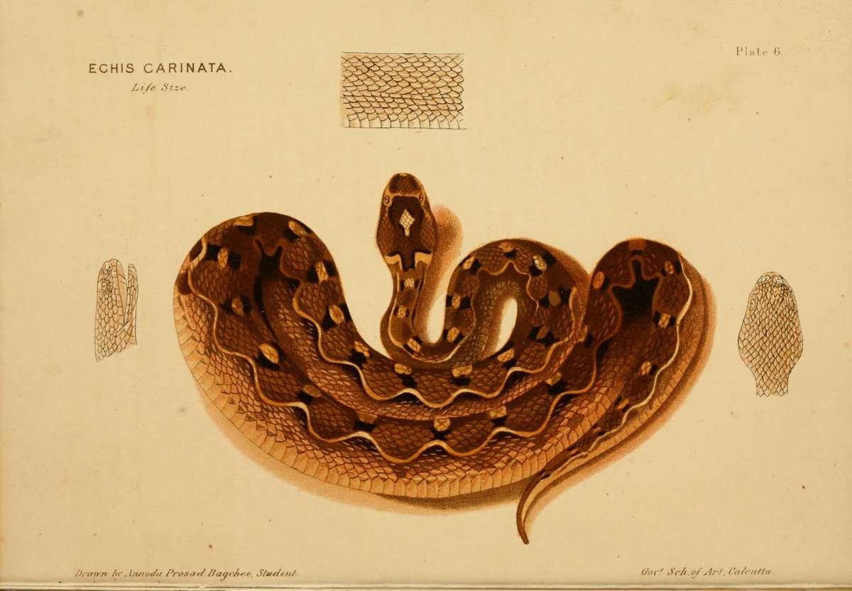 Saw-scaled #viper (Echis carinatus). #SciArt by Annoda Prosad Bagchee for Joseph Ewart, The Poisonous #Snakes of #India (1878). View more in #BHLib:  http:// ow.ly/V7Oy30hG0A1  &nbsp;   -- #Vipers #Reptiles #Herpetology<br>http://pic.twitter.com/wxgLXItMaq