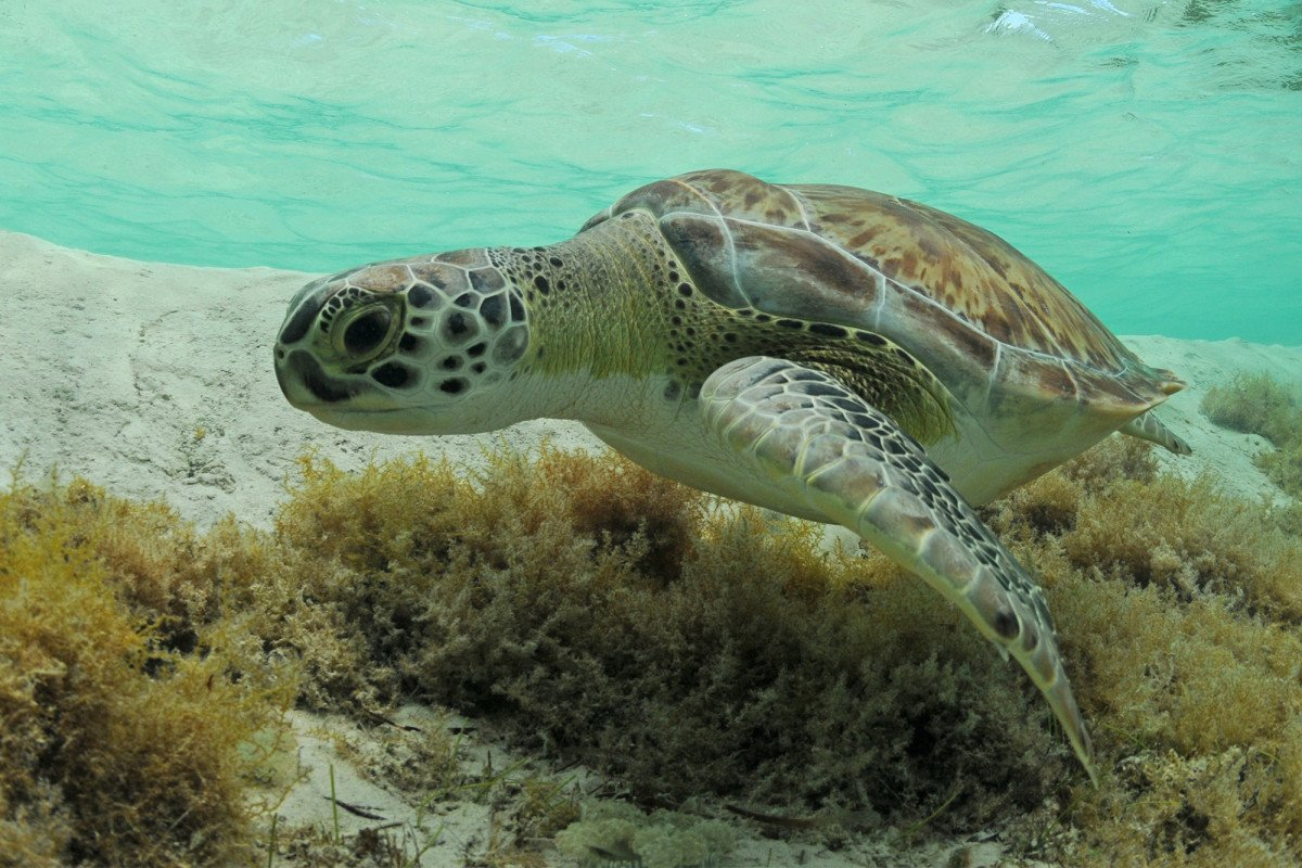 Climate change is turning baby green sea turtles female ... - photo#7