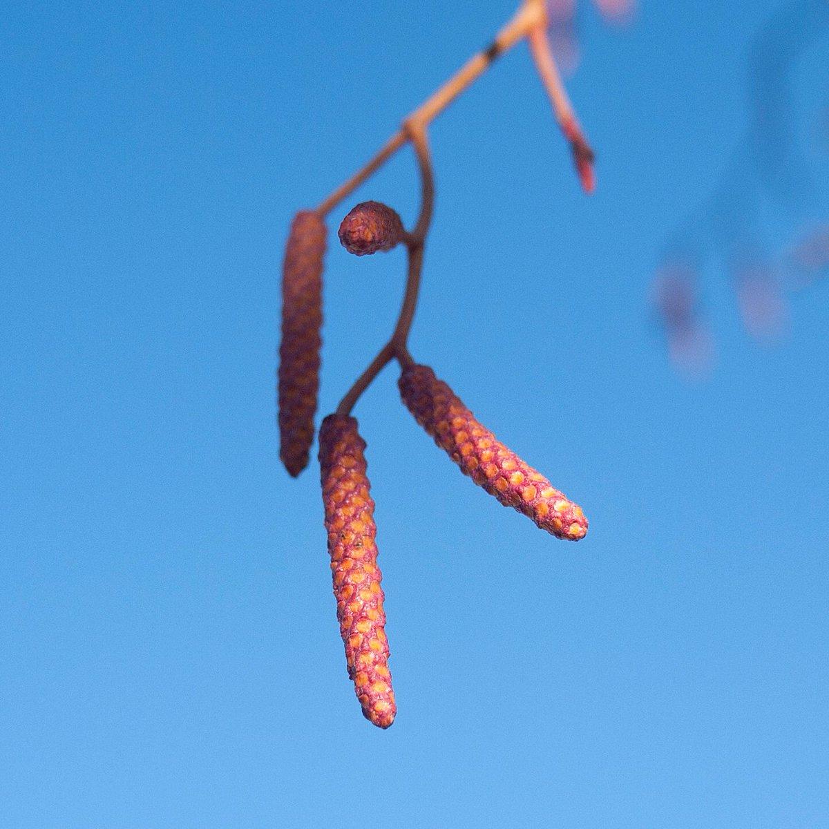 Golden Alder Alnus Incana Aurea Is A Streettree With Potential Great Winter Colour Pic Twitter Vvaqak98kg