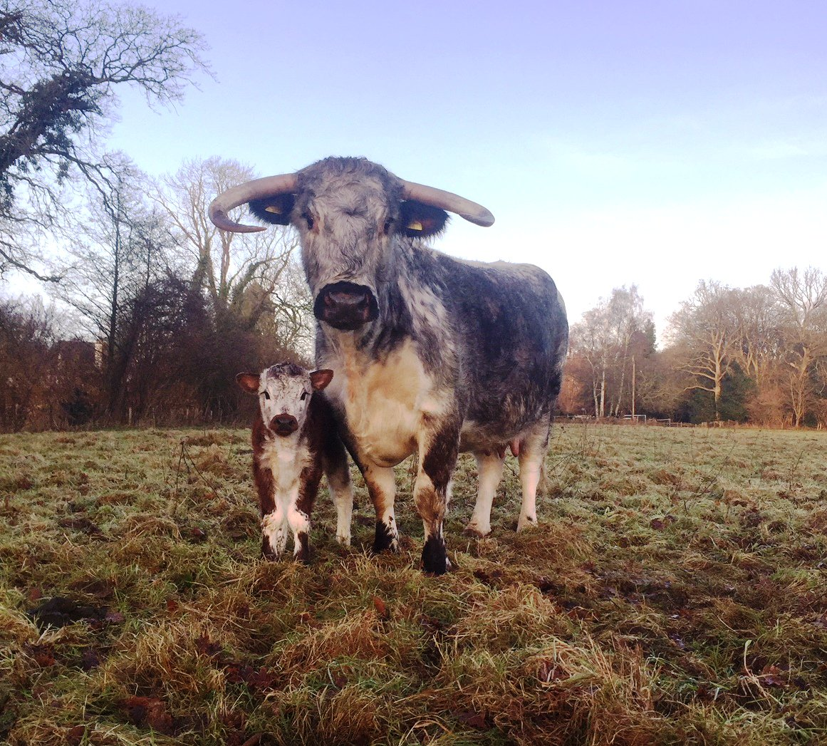 How's this for cute?!! The first calf born to our Loseley Longhorn herd. Mum is Jezebel but the calf hasn't been named yet.  More calves expected towards the end of the month. #newlife #spring #baby #cattlereturntoloseley @LonghornOffice @SurreyLife @GuildfordTIC @RBSTrarebreeds