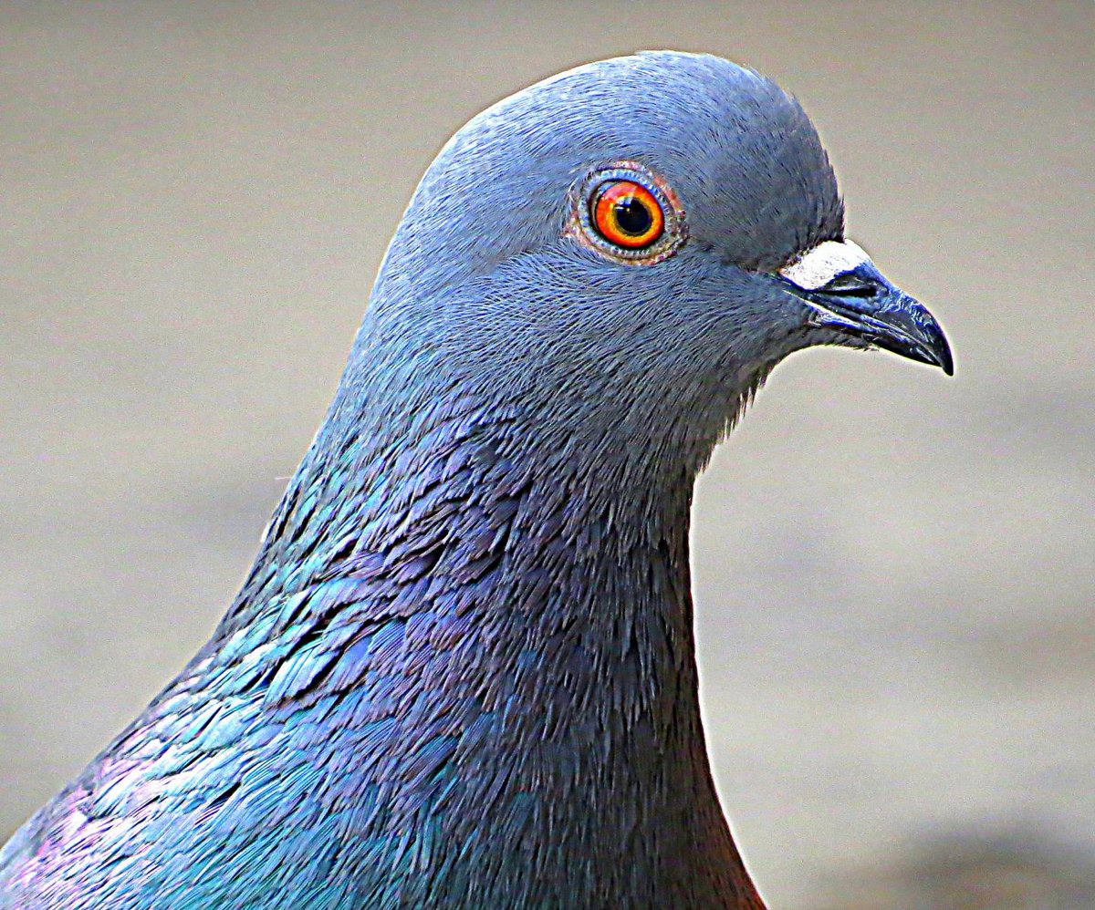 получить голубь с глазами спереди фото рыбаке рыбке вечная