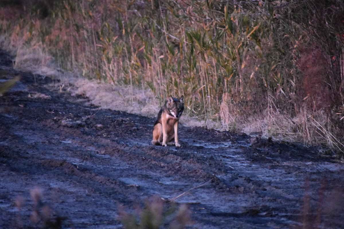 Red Wolf Recovery (@redwolfrecovery) | Twitter