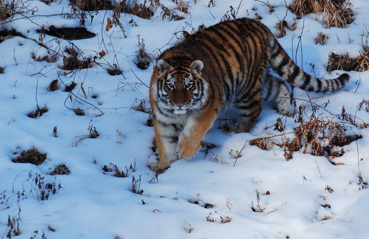 Логово тигров фон для