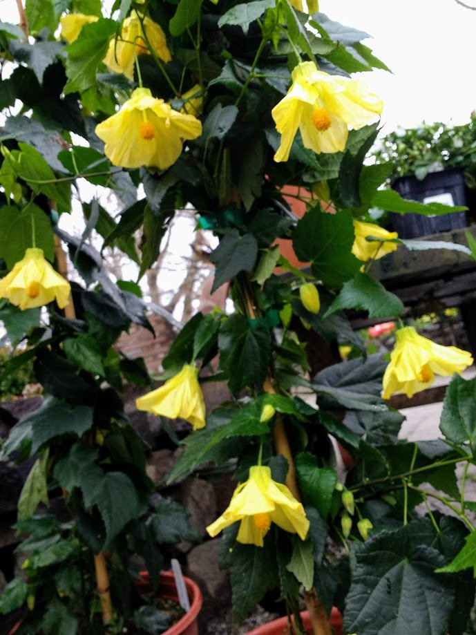 Highhand on twitter chiffon yummy sounding lovely color and a abutilon chiffon is easy to grow evergreen shrub with showy bell shaped yellow flowers hummers love it mightylinksfo