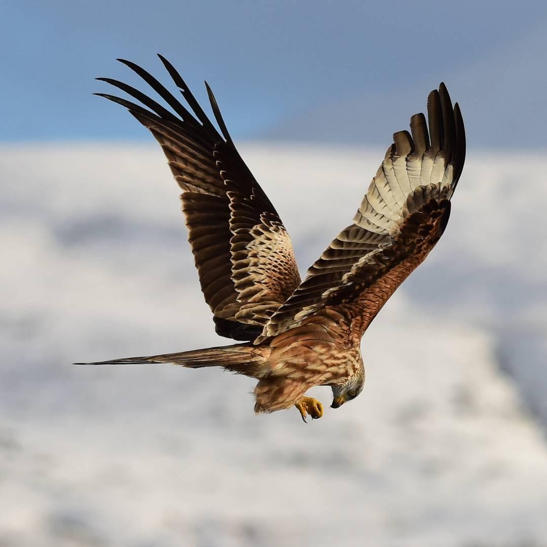 نتيجة بحث الصور عن طائر الحدأة