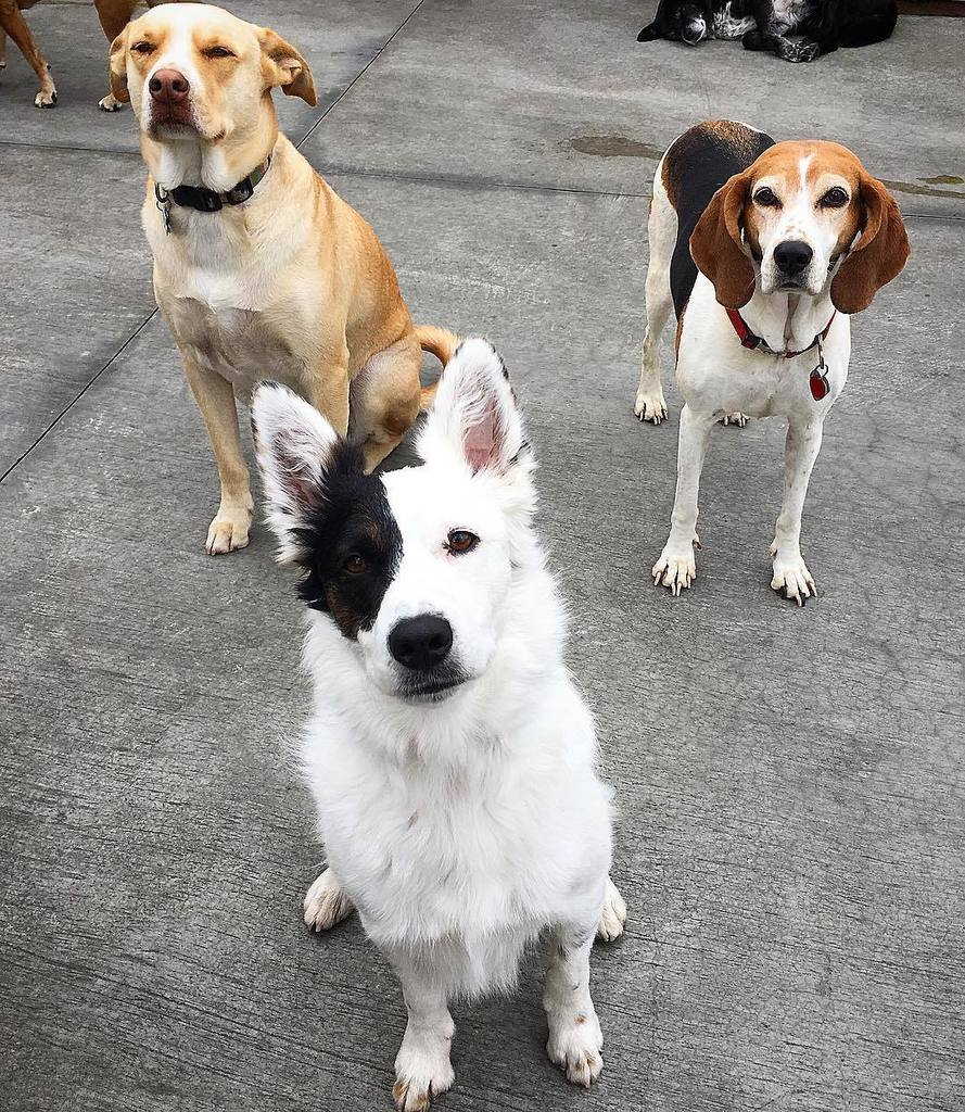 The Crew. (Left to Right: Colby, Boone, and Sadie) . . #dogcrew #crewgoals #crewgoalsachieved #boonethedog #colbythedog #sadiethedog #dogfriends #doggydaycare #mountainview #bayareadog #californiadog #southbay #petsitters #petsittingtothemax #daycarelife… http://bit.ly/2CSlV4mpic.twitter.com/0IqKTlkRgS