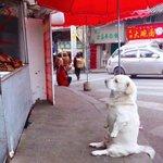 ローストチキンを見つめる犬が可愛すぎるその独特の座り方に胸キュン!